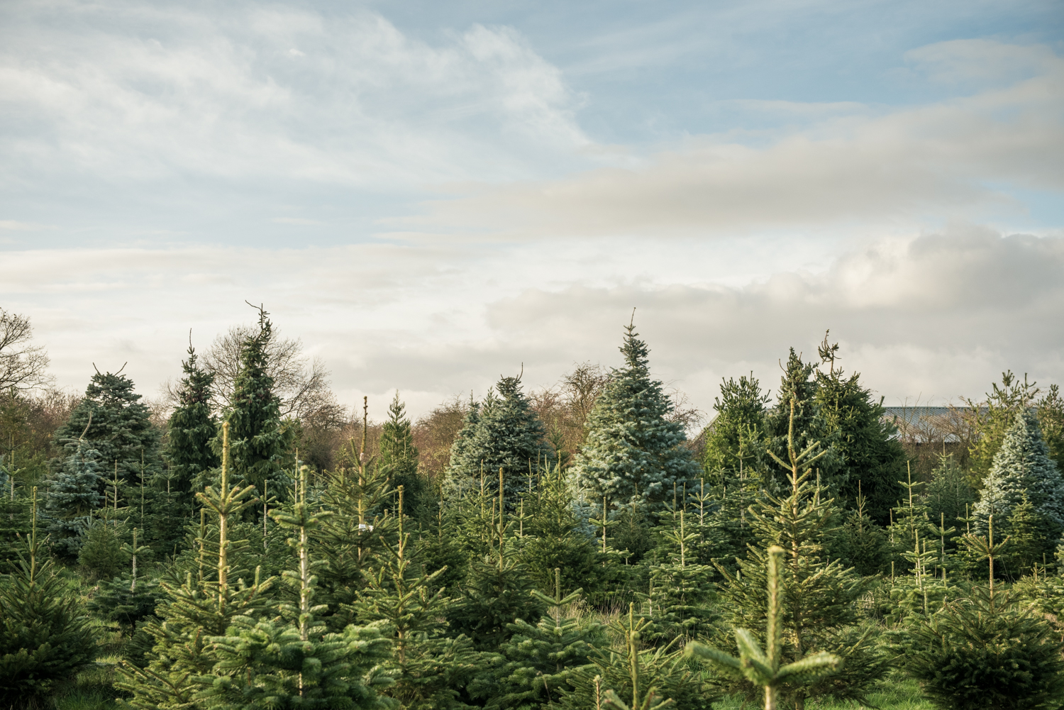 Snowbird Christmas Tree Farm, Grantham Commercial Photographer, Melton Mowbray Commercial Photographer